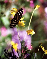 Zebra Butterfly in garden
